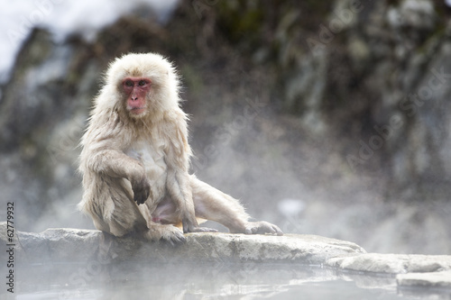 Snow monkey relaxes on the edge of a natural onsen
