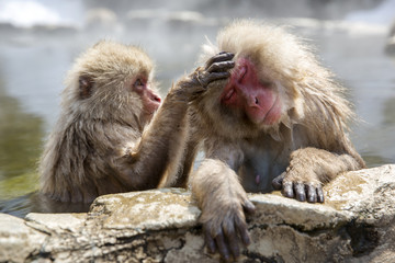 Snow monkeys grooming in a natural onsen