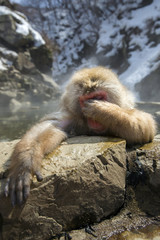 Snow monkey looks embarrassed in a natural onsen