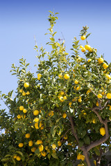 Lemon tree with beautiful organic ripe lemons