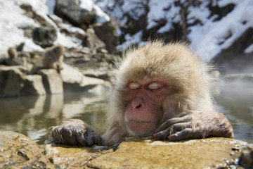 Japanese snow monkey in a hot spring.