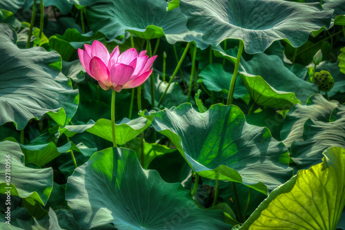 Nelumbo nucifera flower is a flowering plant