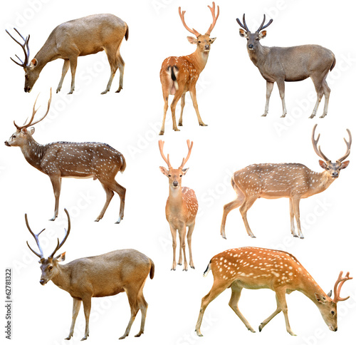 Poster Hert deer isolated