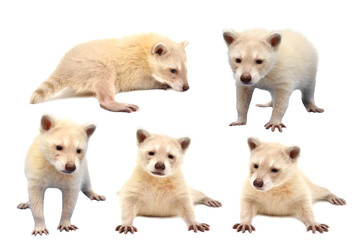 collection of baby albino raccoon isolated