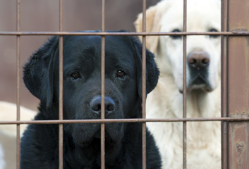 Lonely labrador retriever dogs behind the fence