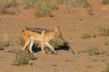 One Black backed jackal play with large feather in dry desert ha