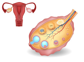 Ovary, detailed follicular development and uterus