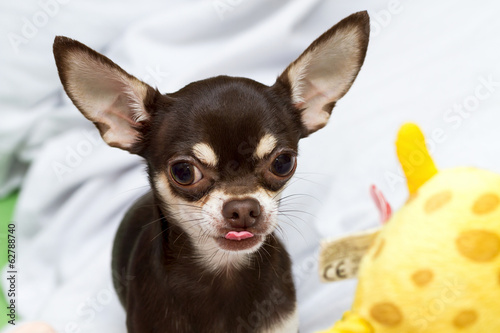 Chihuahua with little tongue