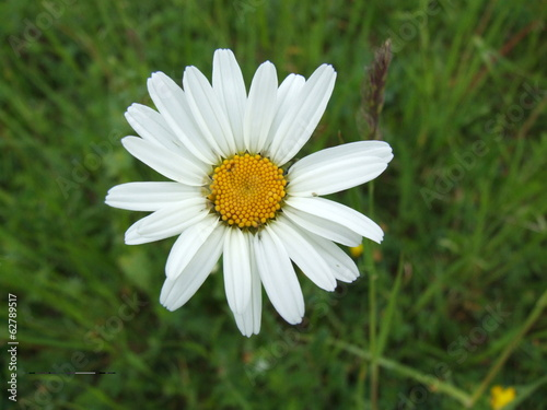 Daisies in nature