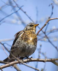 Fieldfare on the branch