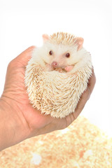 Little Hedgehog on hand