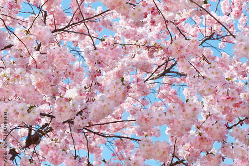 Spring background with pink blossom on blue sky