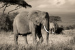 Elephant on savanna in sepia