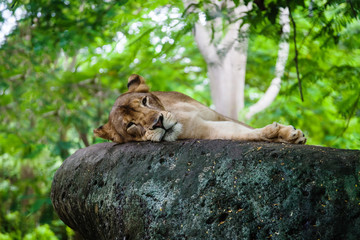 The lioness has a rest on a stone