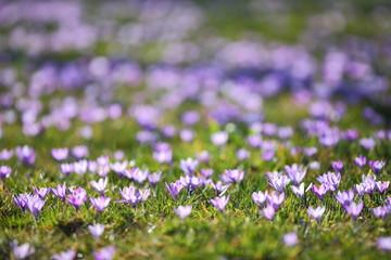 Krokuswiese / Krokusblüte / Crocus vernus / Frühlingskrokus