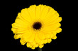 Bright and large yellow gerbera on the black background.