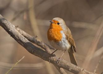 European Robin on the branch