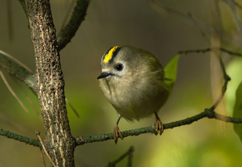 Goldcrest sits on the branch