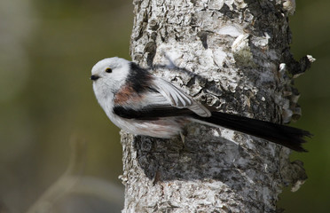 Long tailed tit on the stem of tree