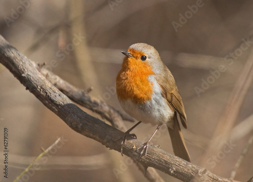 European Robin on the branch