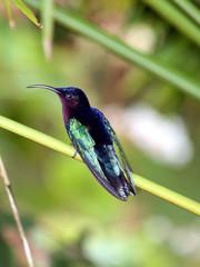 Colibri de Martinique