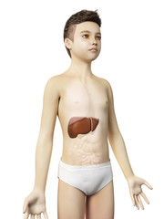 anatomy of a young boy - the liver
