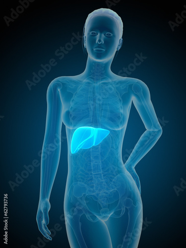 medical illustration of the female liver