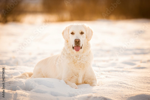 Golden retriever lying on the snow in winter