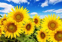 """Постер, картина, фотообои """"sunflower field and blue sky with clouds"""""""
