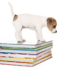 ParsonRussell Terrier puppy standing on books