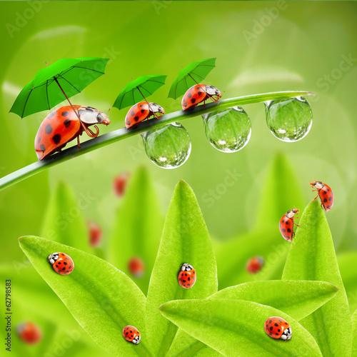Obraz Little ladybugs with umbrella walking on the grass.
