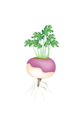 A Purple Turnip on A White Background