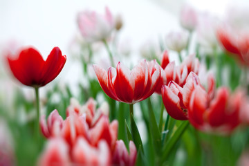 white and red tulip with bokeh