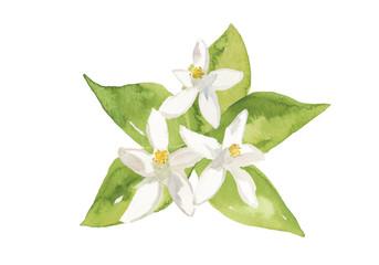 ネロリの花