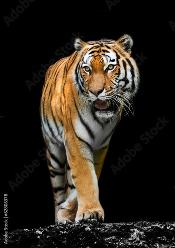 Foto op Canvas Tijger Tiger on black background