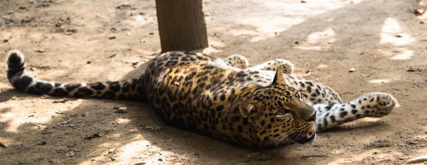 leopard lying in the sun