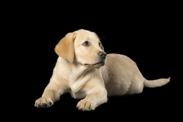 Beautiful Labrador retriever isolated on black background