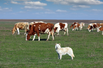 sheepdog with herd of cow in background