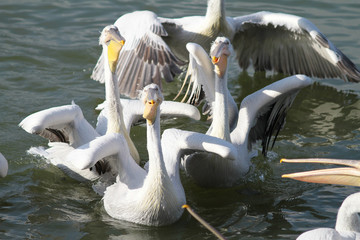 Pelicans playing in the water