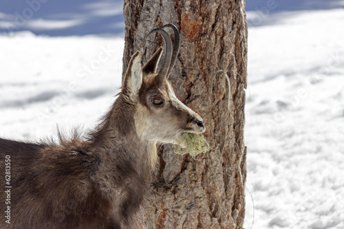 Hungry Chamois in the National Park, Aosta