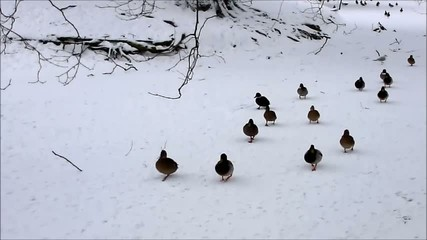ducks in snowy park