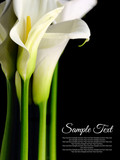 Fototapety Beautiful white Calla lilies with reflection on black background