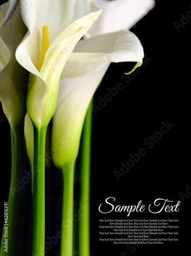Beautiful white Calla lilies with reflection on black background - 62816341