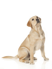 Beautiful Labrador retriever isolated on white background