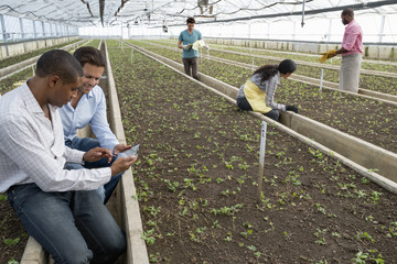 A commercial greenhouse in a plant nursery growing organic flowers. Two men using a digital tablet.