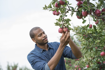 An organic apple tree orchard. A man picking the ripe red apples.