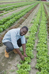 An organic farm growing vegetables. A man in the fields inspecting the lettuce crop.