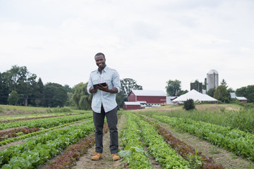 An organic farm growing vegetables. A man in the fields inspecting the lettuce crop, using a digital tablet.