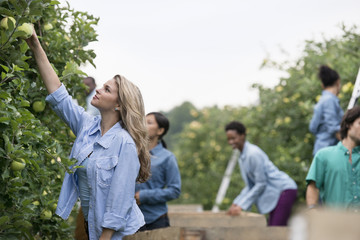 An organic orchard on a farm. A group of people picking green apples from the trees.