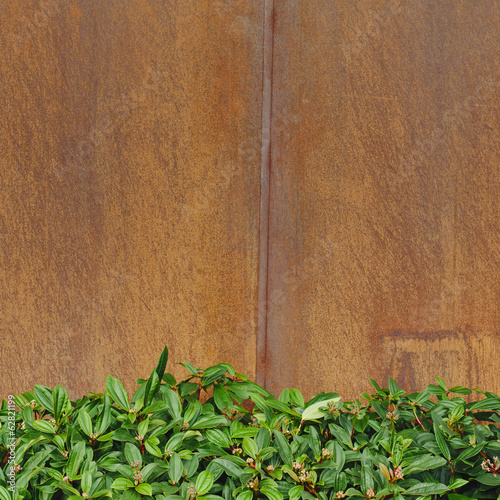 Glossy green leaves of Rhododendrons against a rusty, metal wall.